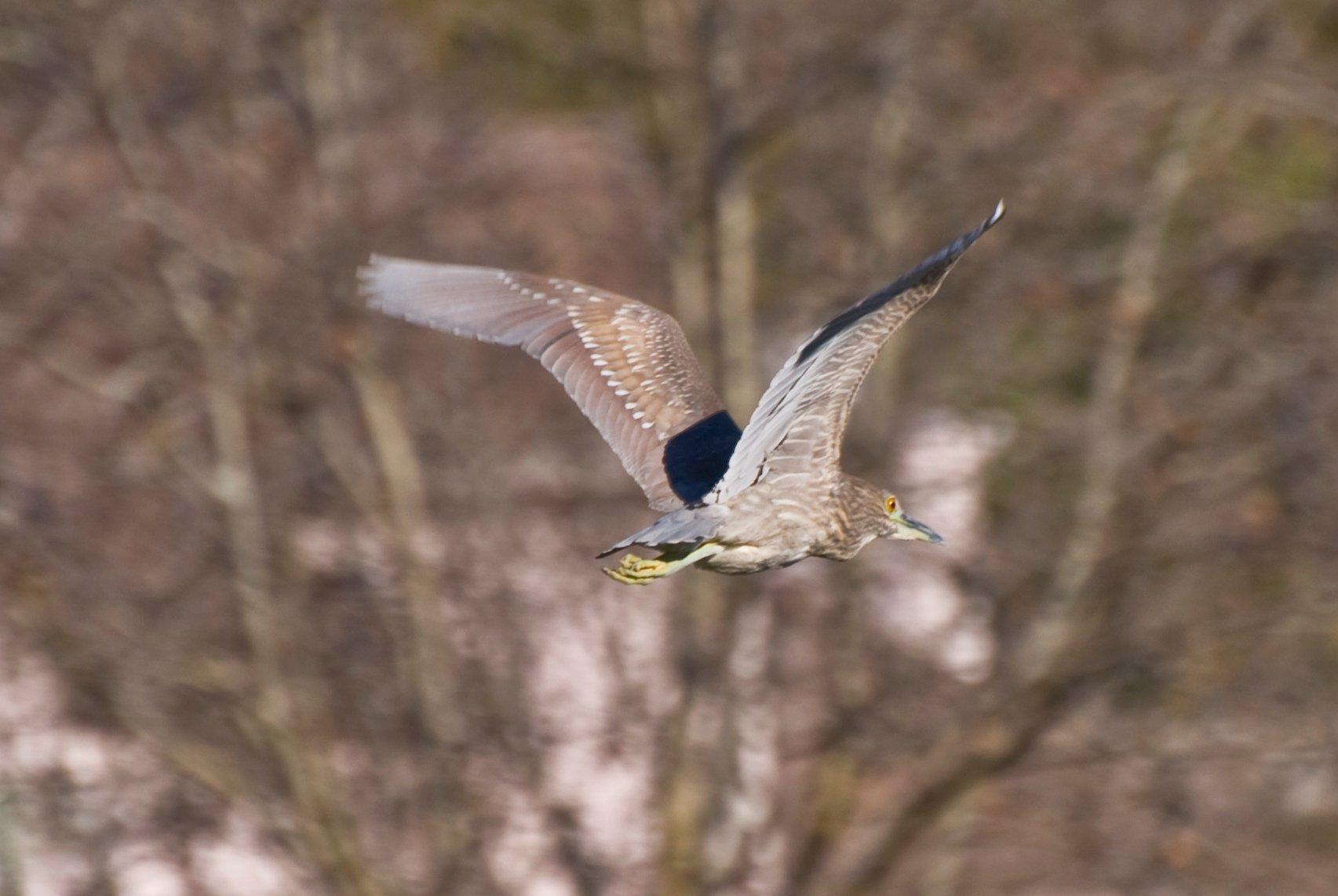 Blue Heron in Flight Image