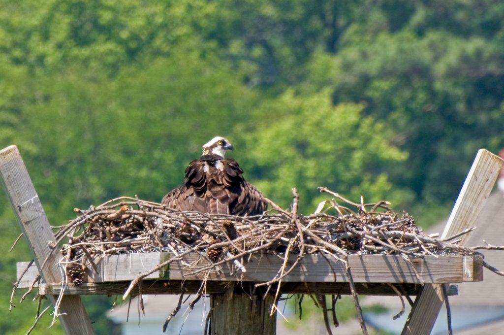 Osprey Nest Image